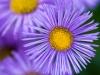 Filder-Blume