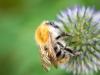 Filder-Blume-Biene